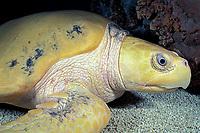 Kemp's ridley sea turtle (Endangered Species), Lepidochelys kempii (c) Aquarium of the Americas, New Orleans, Louisiana
