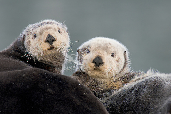 Alaskan or Northern Sea Otters (Enhydra lutris)
