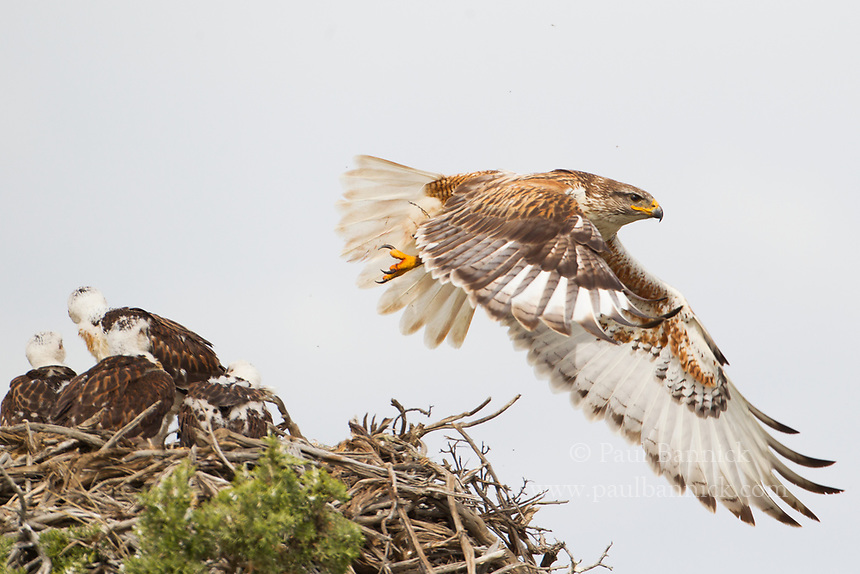 A female Ferruginous Hawk leaves the nest after delivering food.