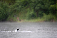 Common loon, Long lake, Matanuska valley, Alaska.