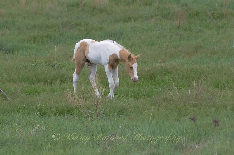 Beautiful mares and foals frolic on the Pine Ridge Reservation in South Dakota. Pine Ridge Ponies. Pine Ridge Paints