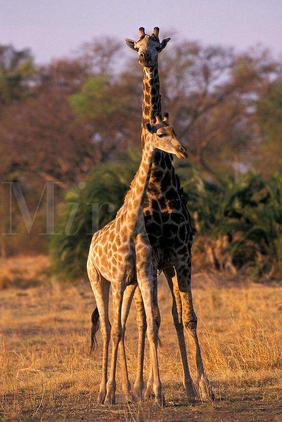 Giraffe, Giraffa camelopardalis, with young, Okavango Delta, Botswana, Africa