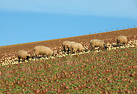 Suffolk cross replacement ewe lambs on roots, Bonchester Bridge, Hawick, Scottish Borders. Suffolk cross replacement ewe lambs.