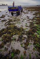 Francia - Bretagna - St Paul de Léon - raccolta delle alghe per uso alimentare - Ditta Algoplus France - Brittany - St Paul de Léon - harvesting algae for food use- Raccolta delle alghe con bassa marea in spiaggia, deposito sul carro,