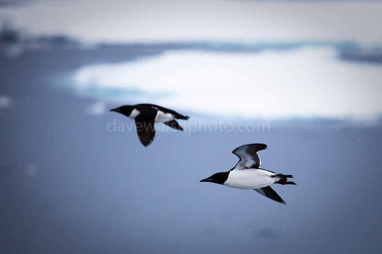 Brünnich's Guillemot, Uria lomvia, flying over the sea ice, in the Arctic Ocean, north of Svalbard