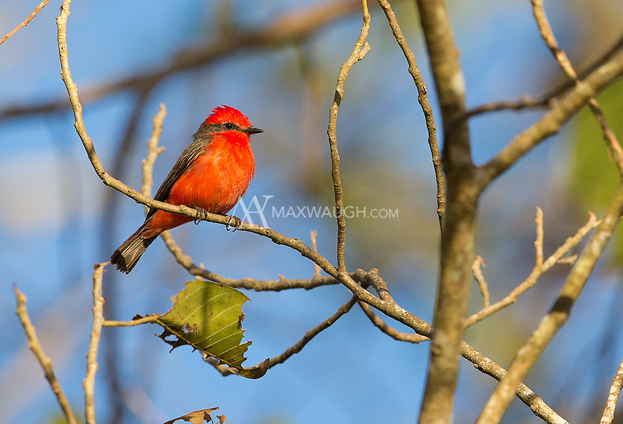 I'm still waiting for better views of the gorgeous Vermillion flycatcher, but this was okay.