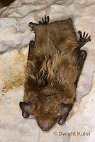 MA20-668z   Big Brown Bat hanging from rock roost, Eptesicus fuscus