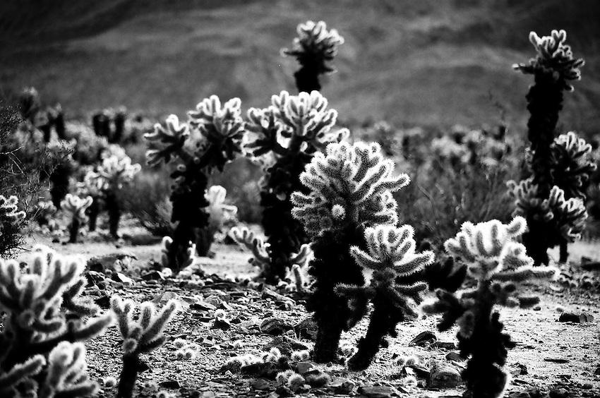 Cholla Cactus Garden, Joshua Tree NP, CA