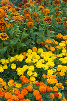 Annuals marigolds and rudbeckia mixture, Rudbeckia Cherokee Sunset + Tagetes (Afro-French Hybrid) Zenith Mixed marigolds, yellow and orange hot color theme