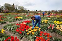 Hortus Bulborum in Limmen.  In de tuin staan meer dan 4000 soorten. De hortus, waarin voornamelijk tulpen staan, is in 1928 opgericht. Tuinder verwijdert tulpen met een virus