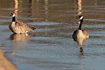 canada geese in Lake Tahoe