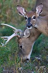 White-tailed (Odocoileus virginianus) fawn caught between a buck and the photographer.  Fall. Winter, WI.