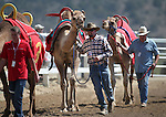 Crew members lead the camels through the arena at the start of the 54th International Camel Races in Virginia City, Nev., on Friday, Sept. 6, 2013.  <br /> Photo by Cathleen Allison