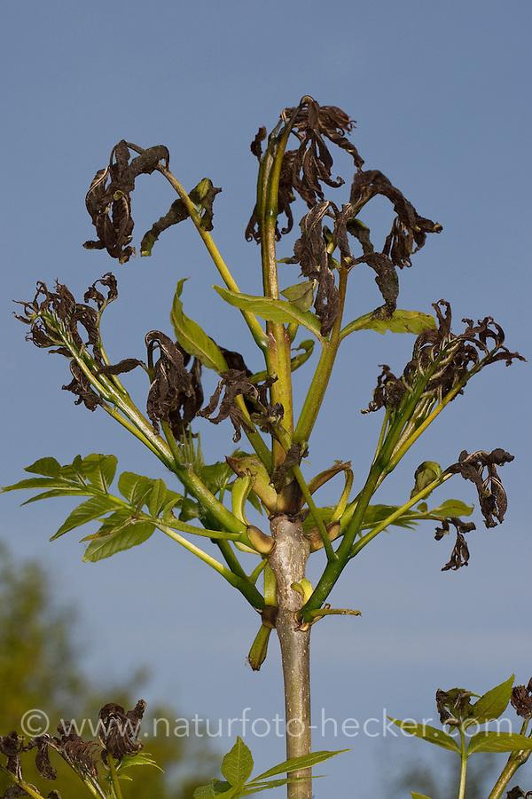 Frostschaden an den jungen Blättern einer Esche, plötzlicher Nachtfrost, Nachtfröste, Frost hat den jungen Blattaustrieb geschädigt, Frostschäden, Pflanzenkrankheiten, Pflanzenkrankheit, Gemeine Esche, Gewöhnliche Esche, Fraxinus excelsior, Common Ash, European Ash