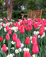 Stock photo: Beautiful field of red tulips and white daffodils in front of a wooden bench in the Atlanta botanical garden, Georgia US.