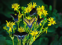 Courtesy photo/TERRY STANFILL<br /> A group of swallow-tail butterflies caught Stanfill's eye.
