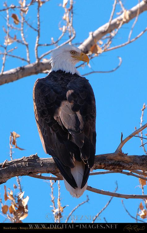 Bald Eagle, Bosque del Apache Wildlife Refuge, New Mexico