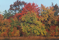 Pine Barrens; autumn; fall; color; NJ; riparian; red; maple; Acer; rubra;