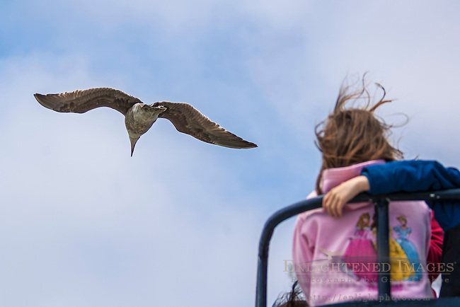 Herring Gull (Larus argentatus) in flight over young girl tourist on boat ride, San Francisco Bay, California.