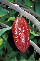 Ripe Cacao or Cocoa pod hanging on a tree in Guayaquil, Ecuador
