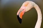 Greater Flamingo (Phoenicopterus roseus) in lagoon, close-up of head, Pont Du Gau, Camargue, Rhone Delta, France