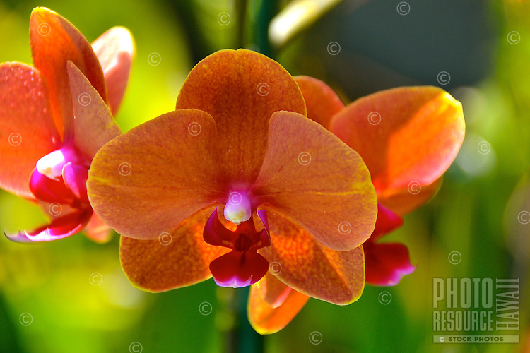 A close-up of the moth orchid (Phalaenopsis), one of the most popular orchids in Hawai'i.