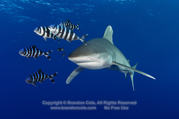 TG0138-D. Oceanic Whitetip Shark (Carcharhinus longimanus), and Pilotfish (Naucrates ductor). Pilotfish are semi-obligate commensal symbionts, following sharks, turtles, and other pelagic animals. Found throughout the tropics, pilotfish feed on leftovers from their host meals, as well as shark parasites and excrement. Egypt, Red Sea.<br /> Photo Copyright &copy; Brandon Cole. All rights reserved worldwide.  www.brandoncole.com