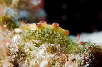 Ornate Sapsucking Slug, Carangoides ferdau, Manta Channel dive site, Karang Makassar, north Rinca Island, Komodo National Park, Indonesia, Indian Ocean