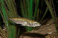 Dreistacheliger Stichling, Dreistachliger Stichling, Gasterosteus aculeatus, Meerwasserform zwischen Seegras, marin, three-spined stickleback