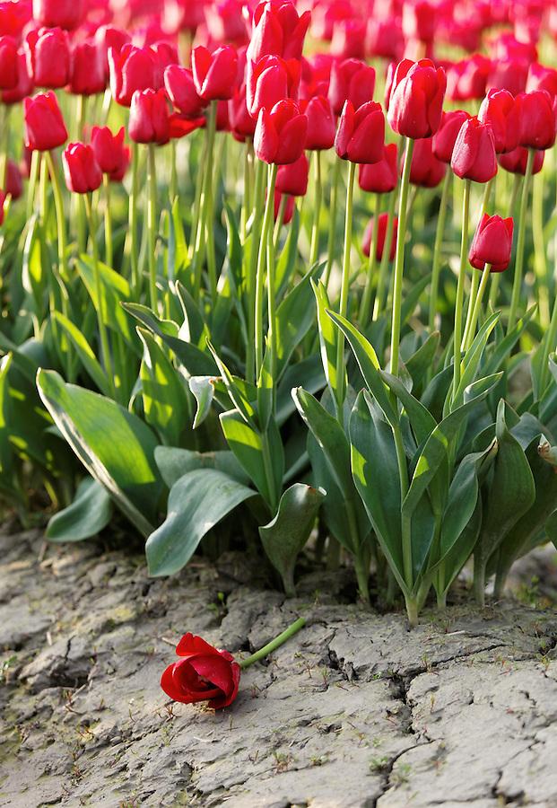 Fallen red tulip, Skagit Valley, Mount Vernon, Washington