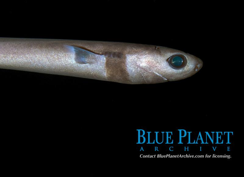 cookiecutter shark, Isistius brasiliensis, found during offshore blackwater dive in Kona Coast, Big Island, Hawaii, USA, Pacific Ocean