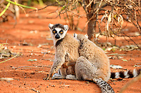 Ring-tailed Lemur (Lemur catta), two adults, Berenty Reserve, Madagascar, Africa