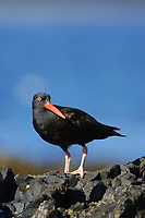 Black Oystercatcher (Haematopus bachmani). St. Lazaria Island, Alaska. June.