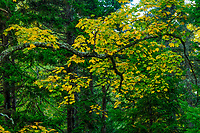 Sugar Maple, Acer Saccharum, starting to turn color in a mixed hardwood forest in the Adirondack Mountains of New York State