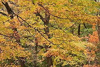 maple, autumn color at Arnold Arboretum, Boston, MA