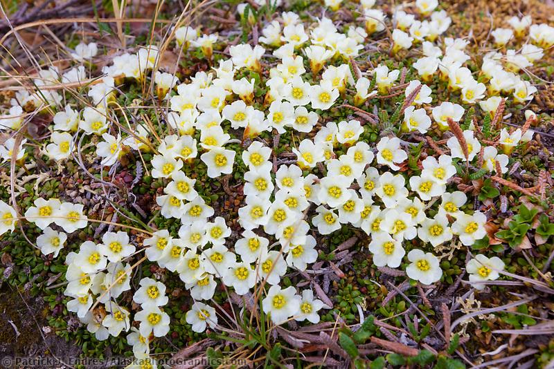 Arctic sandwort, National Petroleum Reserve, Alaska.