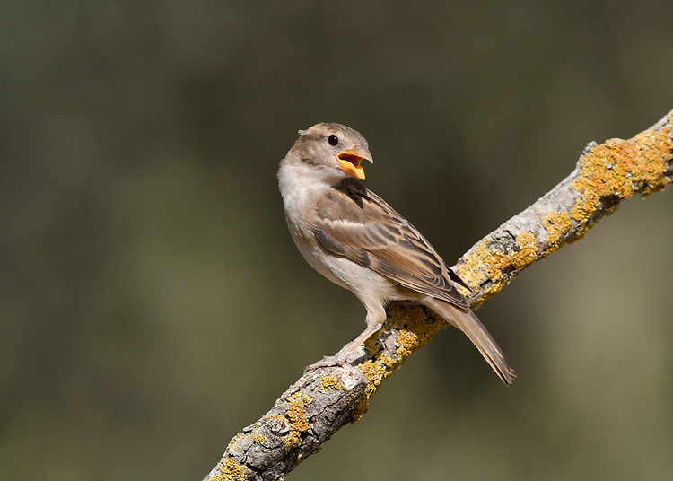 Spanish Sparrow - Passer hispaniolensis