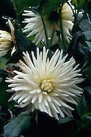 Italien, Piemont, Chrysantheme im Garten der Villa Taranto in Verbania am Lago Maggiore