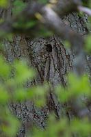 Buntspecht, Höhle in einer alten Eiche, Bunt-Specht, Specht, Spechthöhle, Dendrocopos major, Picoides major, Great spotted woodpecker
