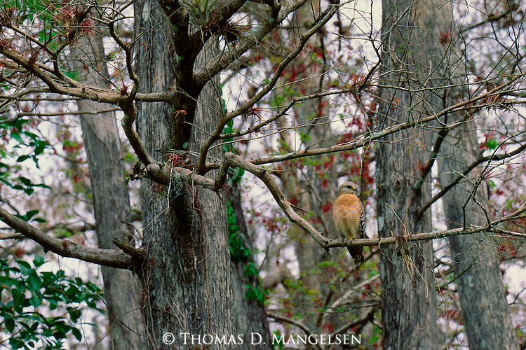 Camouflaged in the grey branches of the 500-year old bald cypress forest of southwest Florida, a red-shouldered hawk keeps its eye out for snakes, frogs, and crayfish, equally camouflaged among the mangrove trees and swampy vegetation of Corkscrew Swamp Audubon Sanctuary in Florida.