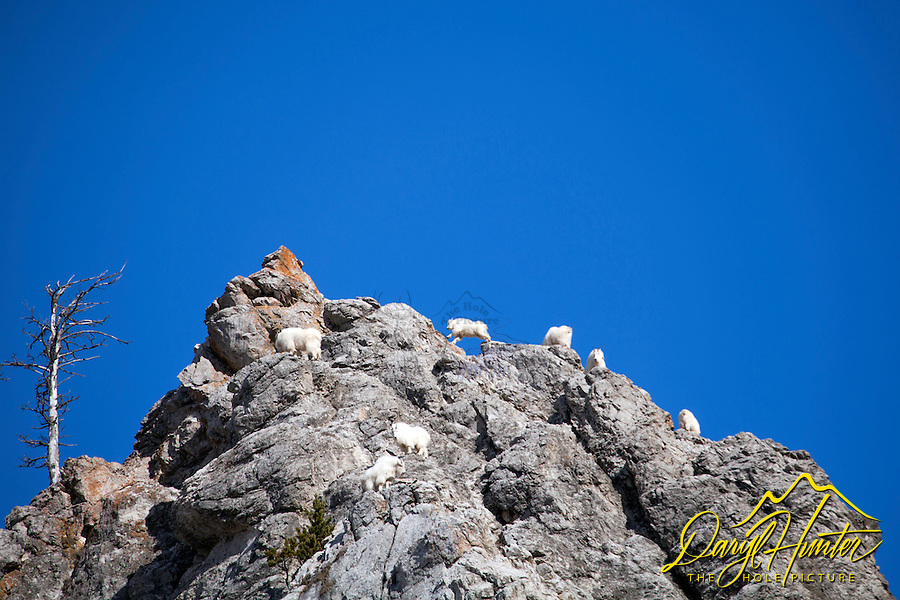 Mountain Goats, Goat Rock, Snake River Range, Jackson Hole, Wyoming