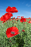 Poppies, Papaver hoeas, near Barrasford, Northumberland, UK