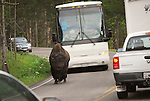 A Bison takes his time walking down the road  Yellowstone National Park.
