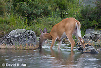 0623-1017  Northern (Woodland) White-tailed Deer Drinking Water, Odocoileus virginianus borealis  © David Kuhn/Dwight Kuhn Photography
