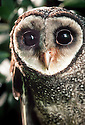Facial portrait of Lesser Sooty Owl (Tyto multipunctata), male from Daintree area of northern Queensland