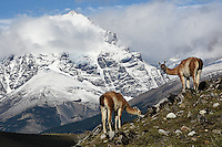 A pair of guanacos feed on spring vegetation as the massive of Torres Del Paine in Patagonian Chile rises in the background.