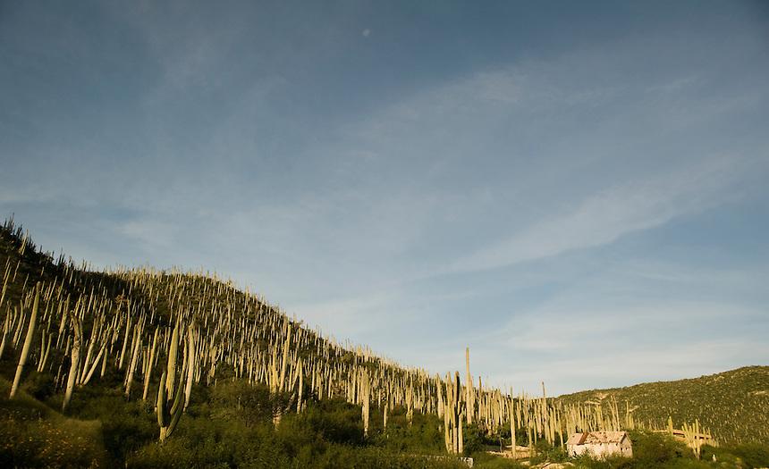 A forest of Organ cacti. La Ruta del Mezcal, Oaxaca and Puebla, Mexico.