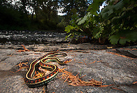 Valley Garter Snake (Thamnophis sirtalis fitchi)- Found hunting newts and trout and salmon smolt in a small stream in the mountains of Western Oregon.
