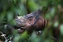Adult Sumatran rhino (Dicerorhinus sumatrensis) (also known as hairy rhinoceros or Asian two-horned rhinoceros) in dense forest. Captive-breeding facility, Way Kambas National Park, Sumatra, Indonesia. (available for licence through International Rhino Fund or Save the Rhino International).
