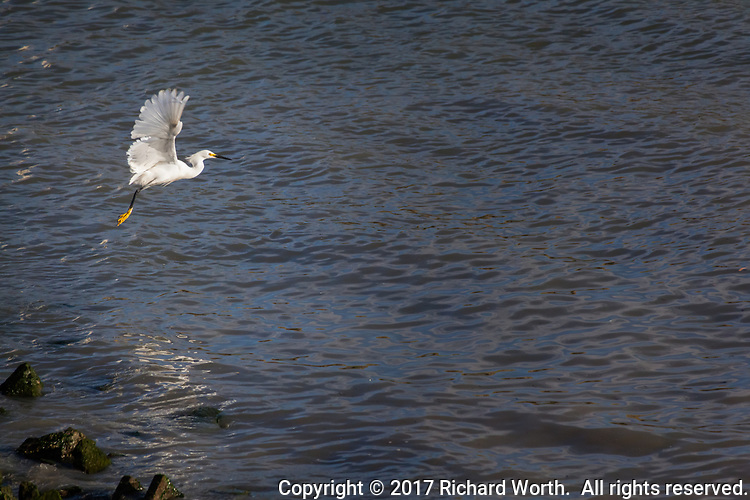A Snowy egret spreads its wings and takes flight over the rippled waters of San Francisco Bay, leaving an equally rippled reflection.